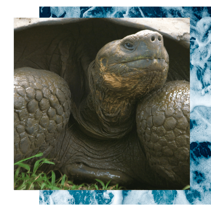 A giant tortoise looks up on this Galápagos Yoga Retreat with The Travel Yogi.